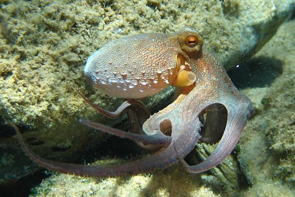 Animales marinos: características, tipos y lista - Pulpo común