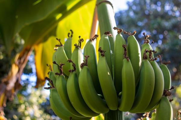 Recursos naturales del Ecuador - Bananos