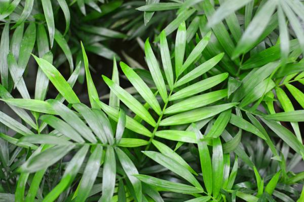 Palmera Areca: cuidados - Características de la palmera Areca