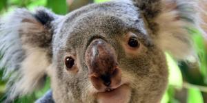 ¿El koala está en peligro de extinción?