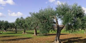 Las plagas del olivo y su tratamiento natural