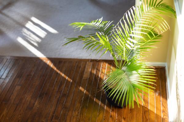 Palmera Areca: cuidados - Luz, temperatura, humedad y ubicación