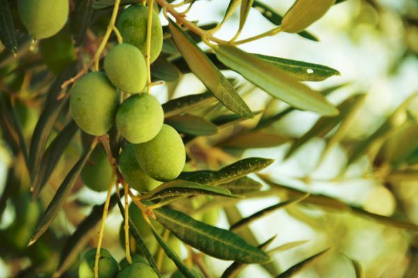 Las plagas del olivo y su tratamiento natural - Plagas más comunes del olivo y su tratamiento natural
