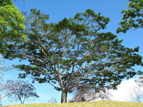 Plantas en peligro de extinción en Colombia - Abarco o Cariniana pyriformis