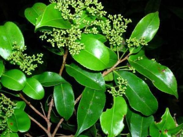 Plantas en peligro de extinción en Colombia - Chanul o Humiriastrum procerum