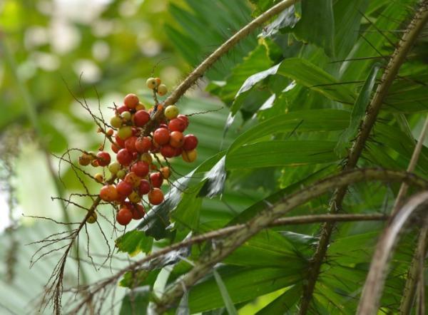 Plantas en peligro de extinción en Colombia - Mararay macanillo o Aiphanes graminifolia