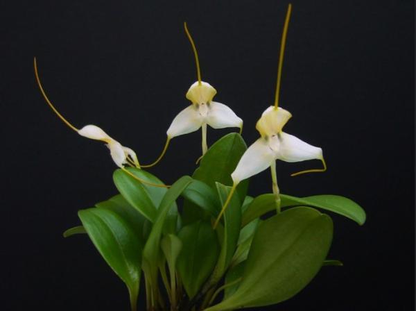 Plantas en peligro de extinción en Colombia - Masdevallia apparitio