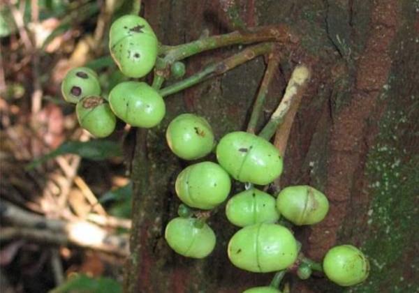 Plantas en peligro de extinción en Colombia - Molinillo o Iryanthera megistocarpa