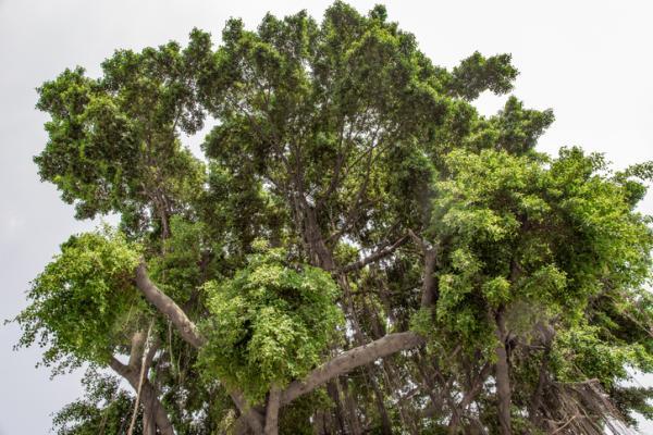 +35 tipos de ficus - Ficus benjamina, uno de los tipos de ficus más conocidos