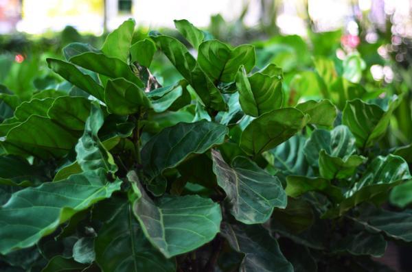 +35 tipos de ficus - Ficus Lyrata