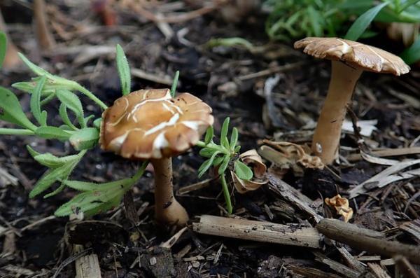 Por qué crecen hongos en mi jardín y cómo eliminarlos - Por qué crecen hongos en un jardín - las causas