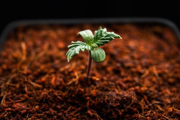 Cuáles son los mejores fertilizantes para plantas - Los mejores fertilizantes para cannabis