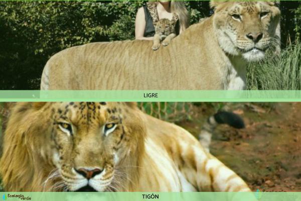 Ligre y tigón: qué son y diferencias