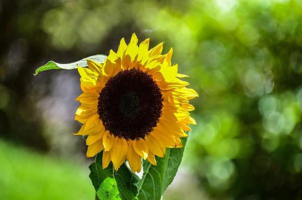 Tipos de girasoles - Big Smile