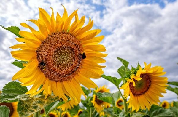 Tipos de girasoles - Russian giant