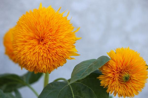 Tipos de girasoles - Teddy Bear