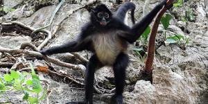 ¿El mono araña está en peligro de extinción?