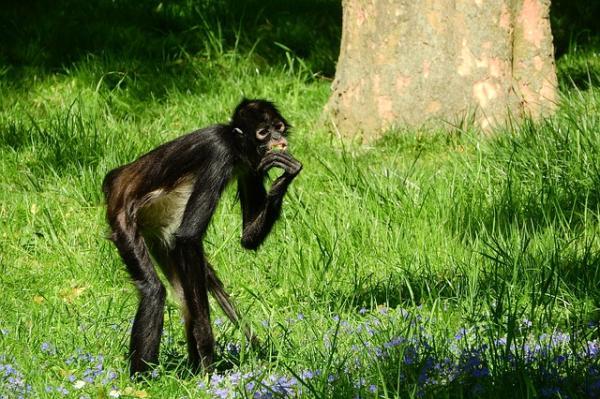 ¿El mono araña está en peligro de extinción? - ¿El mono araña está en peligro de extinción o no?