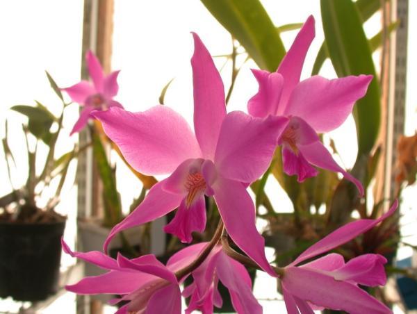 Por qué se extinguió la planta Laelia