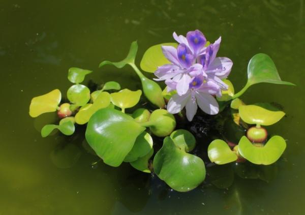 +50 plantas acuáticas: nombres y características - con imágenes - Plantas acuáticas flotantes