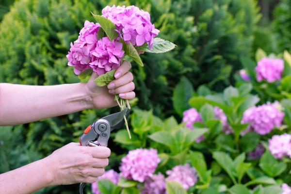 Cómo podar hortensias - Cuándo podar hortensias
