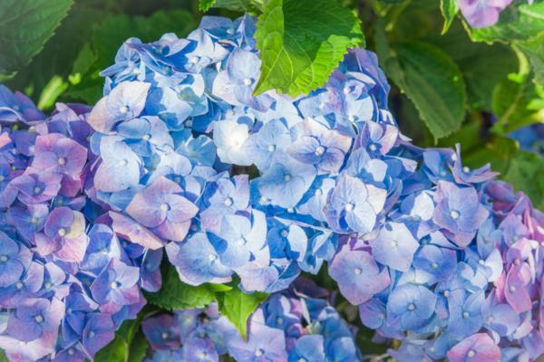 Hortensias azules: cuidados y cómo cultivarlas - Cuidados de las hortensias azules