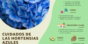 Hortensias azules: cuidados y cómo cultivarlas