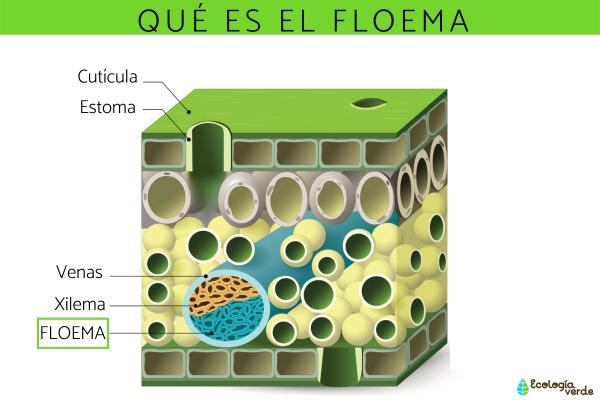 Qué es el floema y su función