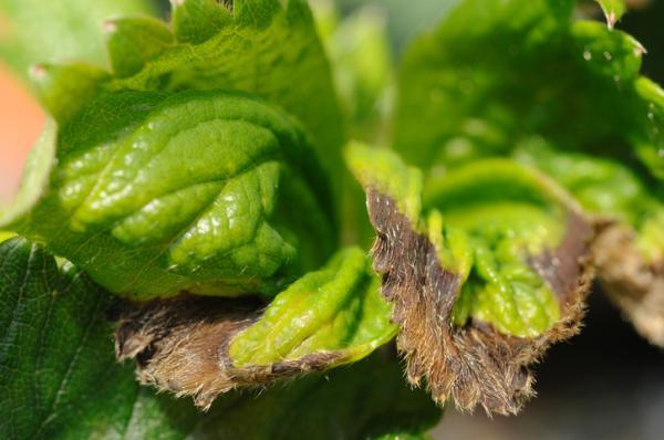Por qué salen manchas negras en las hojas de las plantas - Causas de las manchas negras en las hojas de las plantas
