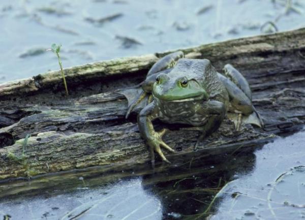 Por qué llueven ranas del cielo