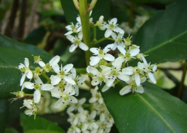 Plantas en peligro de extinción en Chile - Pitao (Pitavia punctata)