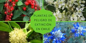 Plantas en peligro de extinción en Chile