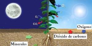Cuándo respiran las plantas