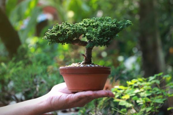 19 tipos de bonsái - Bonsái Shohin