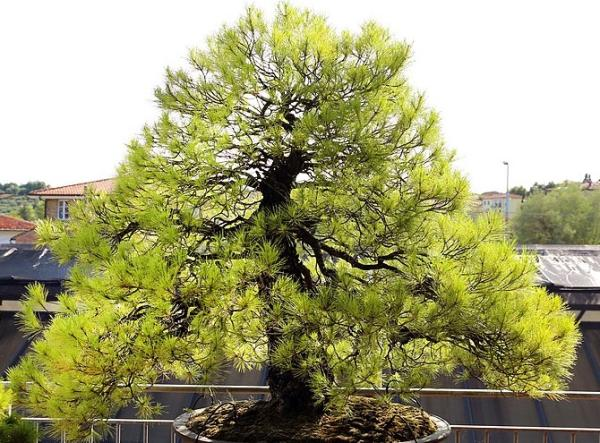 19 tipos de bonsái - Chokkan o estilo formal