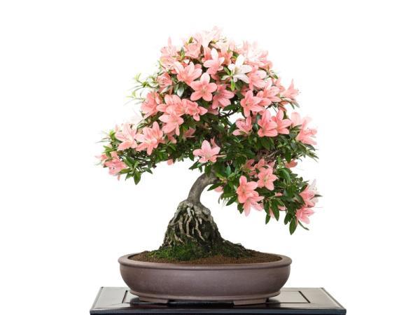 19 tipos de bonsái - Ne Agari o neagari