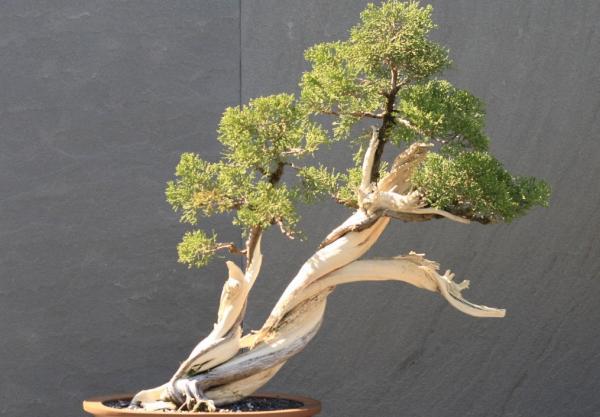 19 tipos de bonsái - Shakan o estilo inclinado