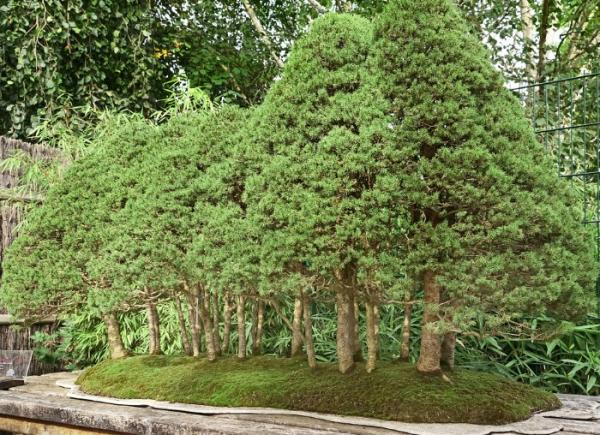 19 tipos de bonsái - Yose Ue o estilo bosque