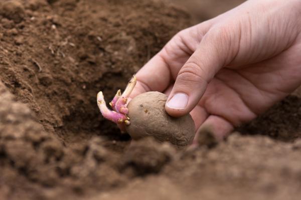 Cuándo sembrar patatas - Cuándo sembrar patatas o papas - la mejor época