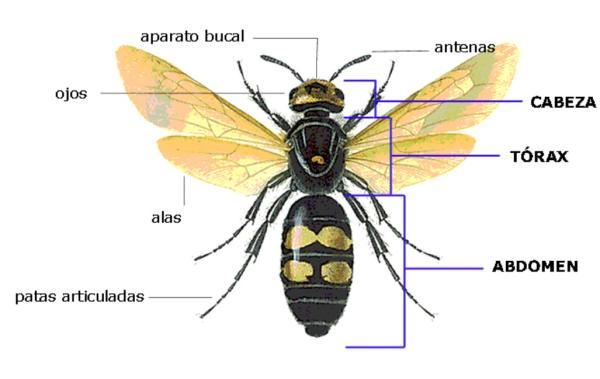 Clasificación de los insectos - Características físicas de los insectos - anatomía externa