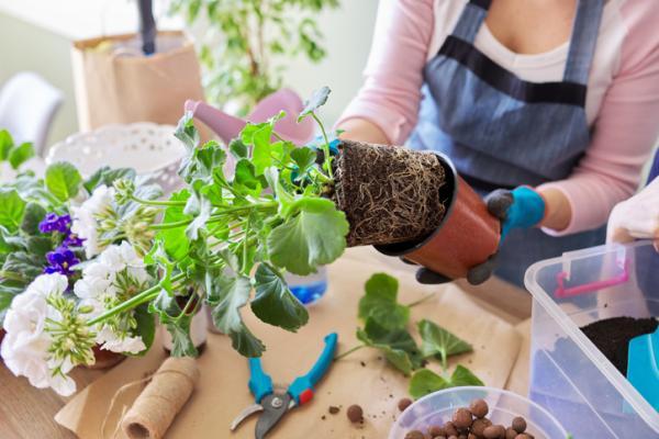 Cómo plantar geranios - Cuándo y cómo trasplantar un geranio