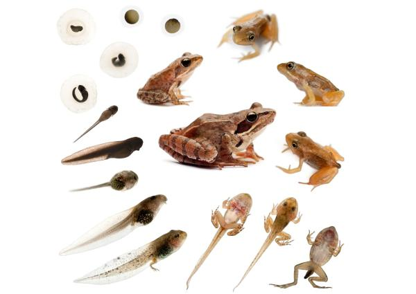 El ciclo de vida de una rana: etapas e imágenes - Fase adulta y reproducción de las ranas