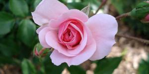 Rosaceae: características y ejemplos