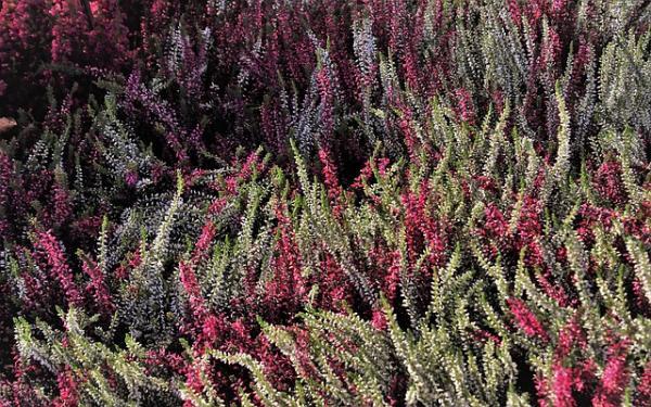 Planta de brezo: cuidados - Cuidados del brezo en invierno en exterior