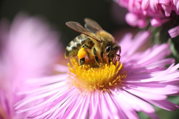 Características de las abejas - Cómo se alimentan las abejas