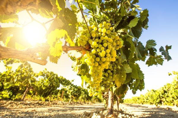 Germinar semillas de uva: cómo hacerlo y cuidados - Cuándo cosechar uvas