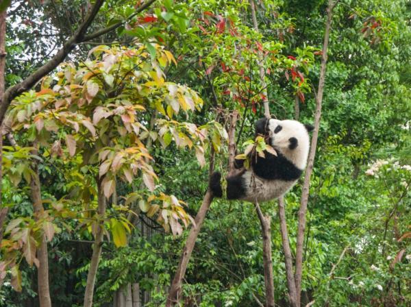 Hábitat del oso panda - Cuál es el hábitat del oso panda