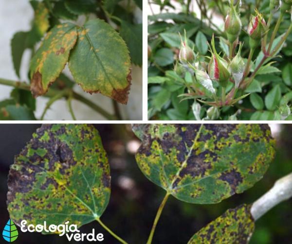 Plagas y enfermedades de los rosales - Enfermedades de los rosales
