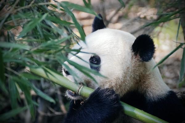 Hábitat del oso panda - Qué necesita el oso panda para vivir
