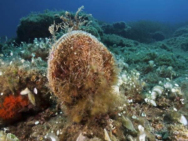 Animales que producen seda - Moluscos de la seda